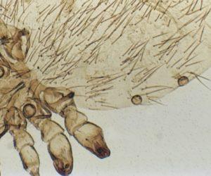 Ridgeway Research Linognathus crop copy