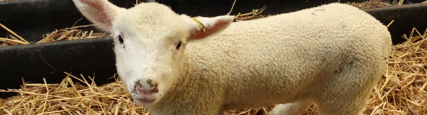 Worm egg counts for sheep, an essential part of your flock management