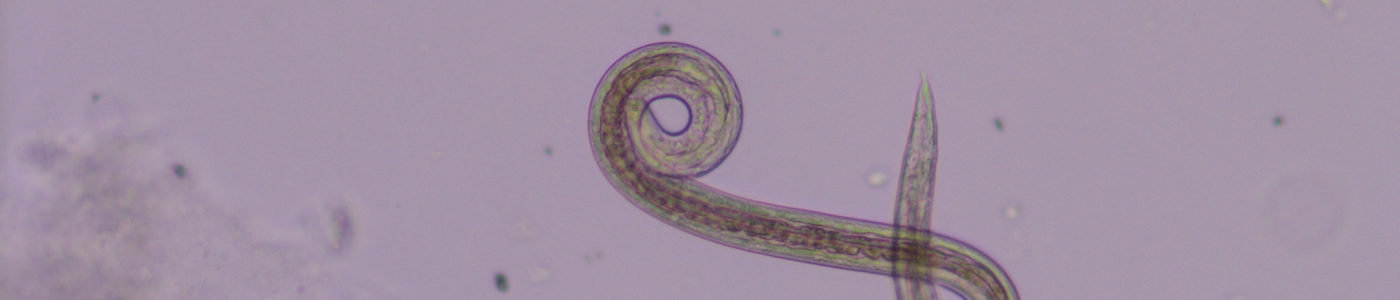 ascaris|suum|parasite