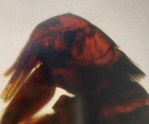 flea|head