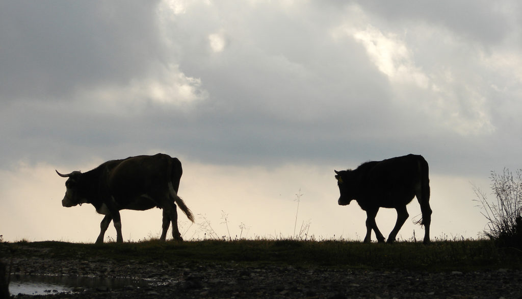 dairy|cow|progesterone|ridgeway|research