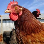 Heat Stress in poultry – what are the signs and how can we combat it?