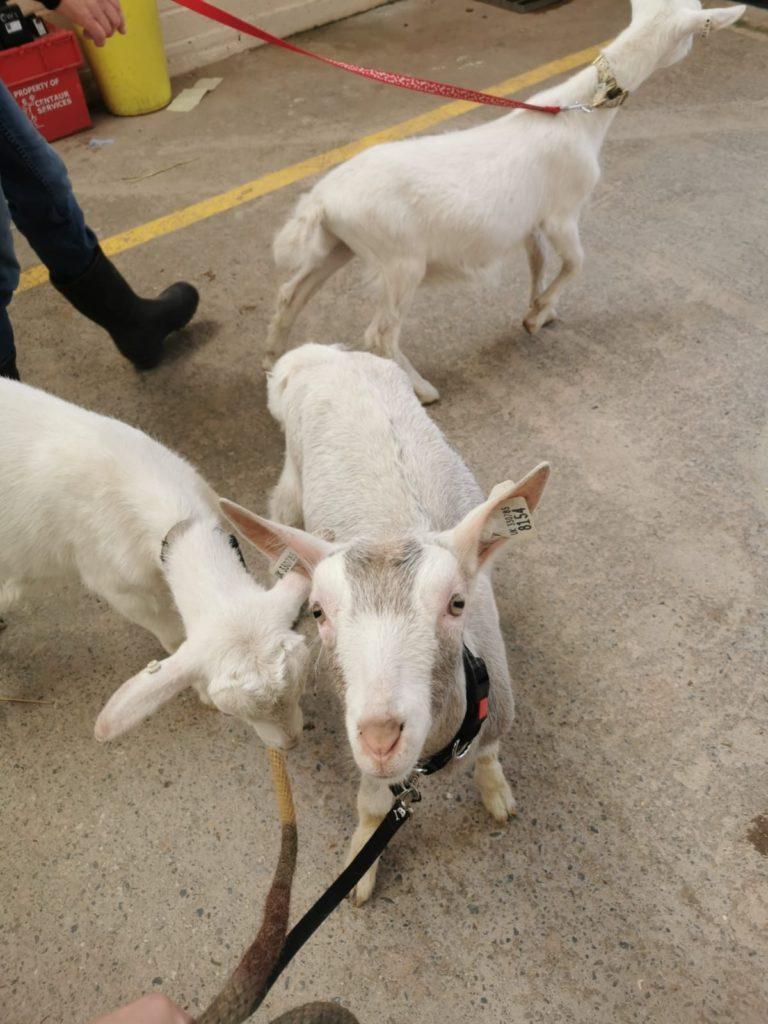 Goats can catch scrapie too.