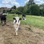 Risk of lungworm in unvaccinated calves and cattle