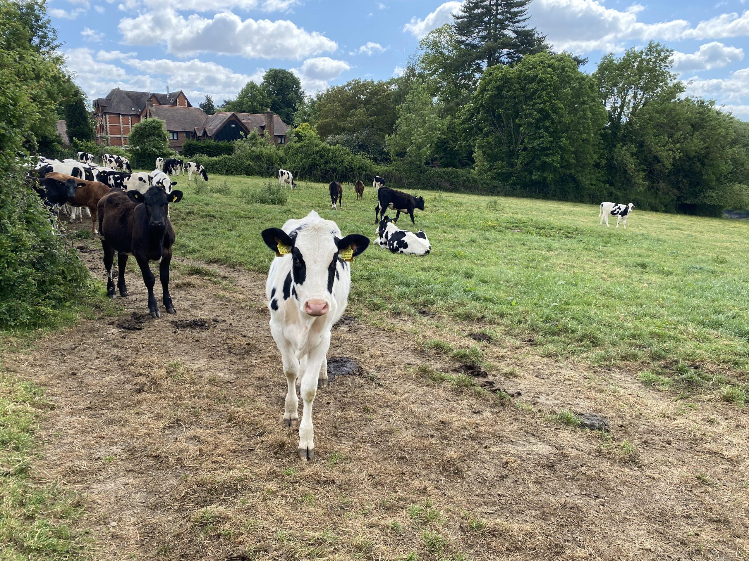 lungworm|cow|calve|RRL