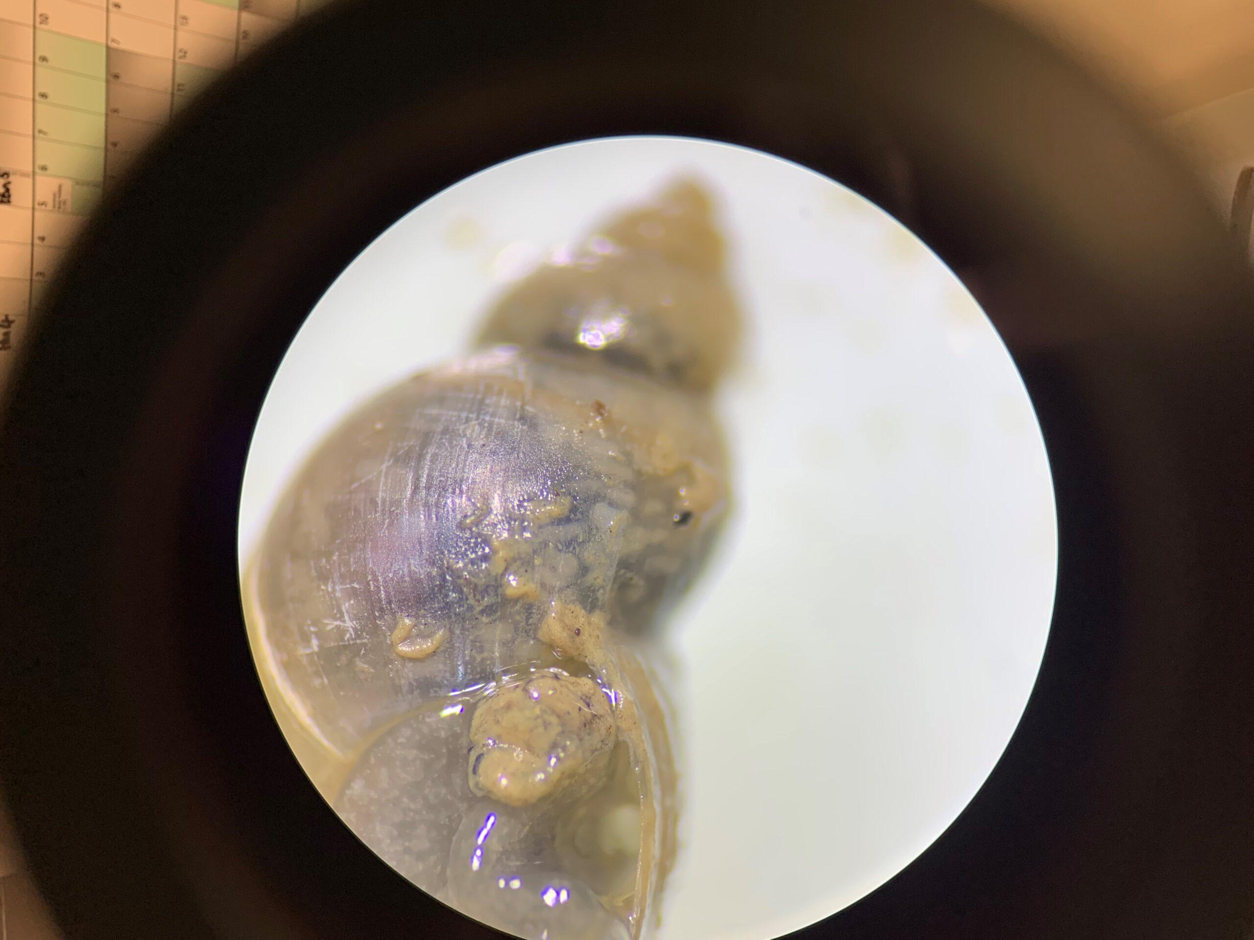 Infected Liver fluke snail