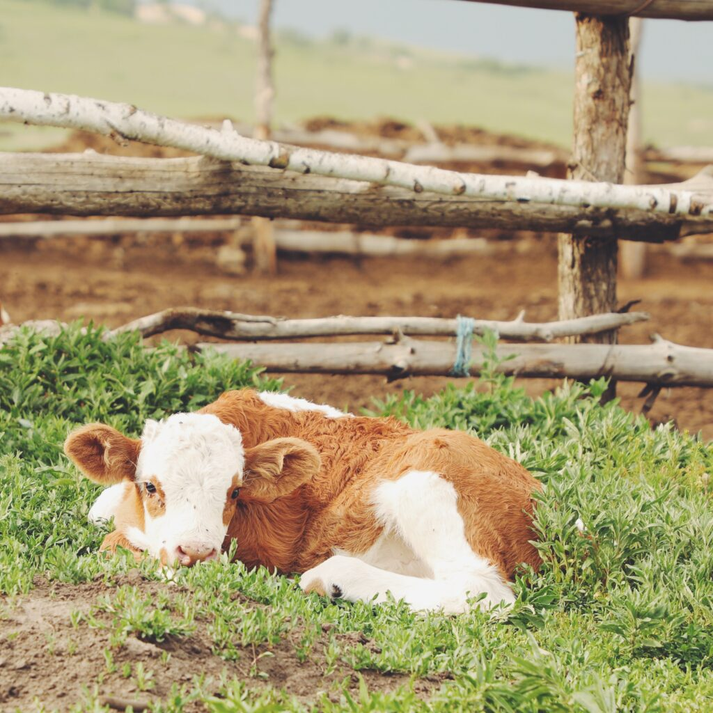 Colostrum is invaluable to a calf's long-term health.