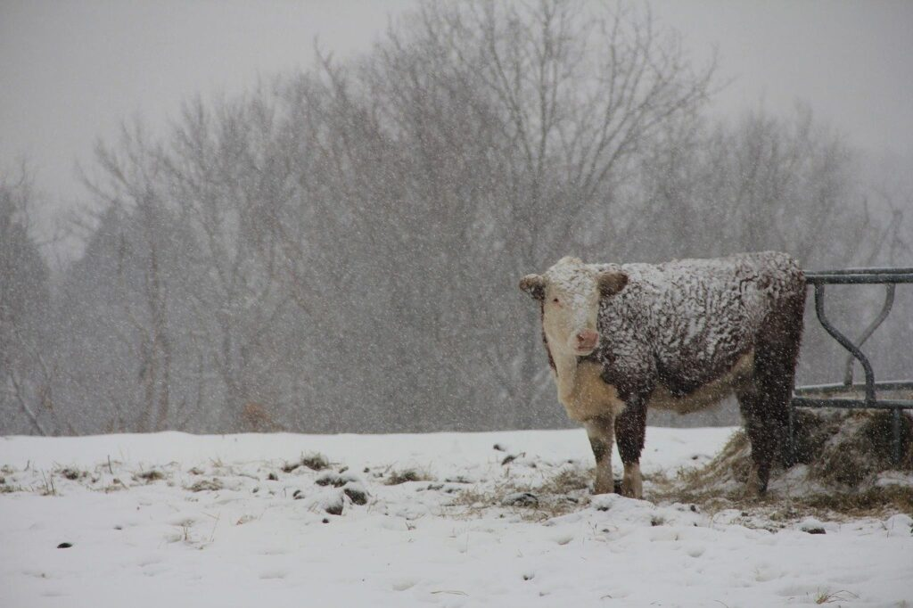 cattle_cow_lice_winter