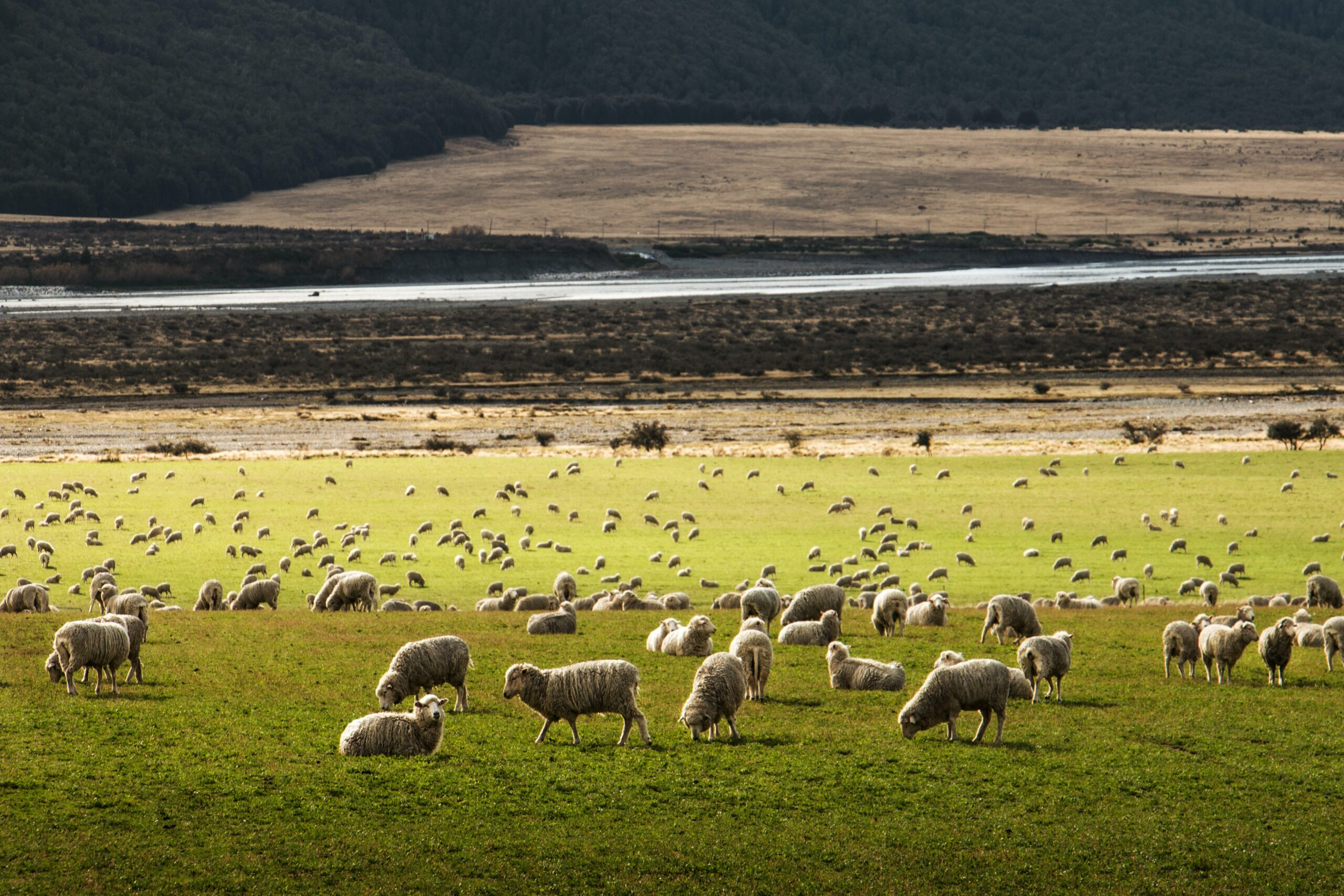 Clostridial diseases can seriously damage sheep flocks.