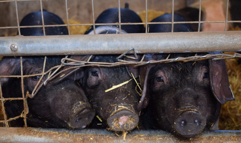 The outbreak of foot-and-mouth started in a pig finishing facility.