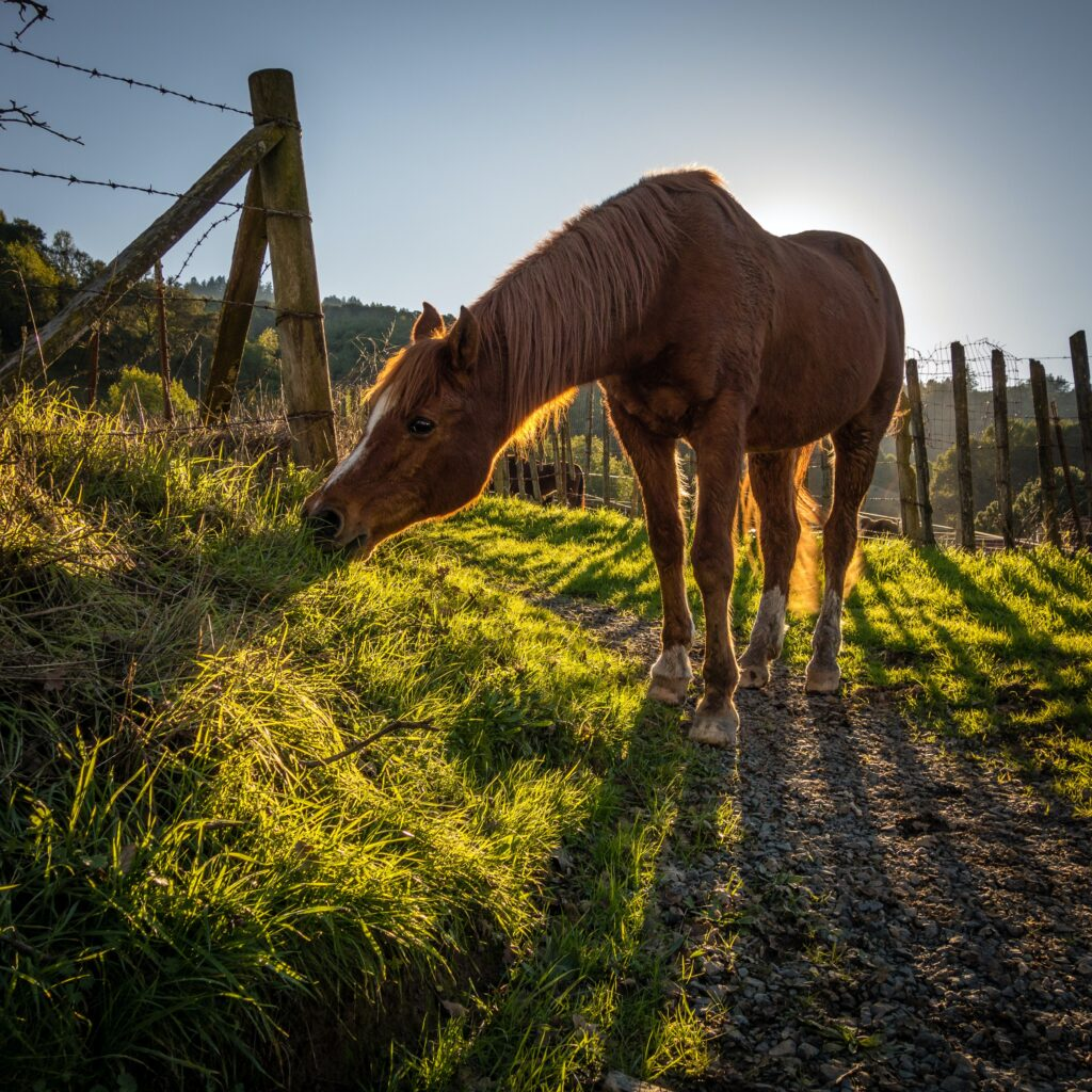Most intestinal parasites are picked up when horses ingest infected grass, feed or water.