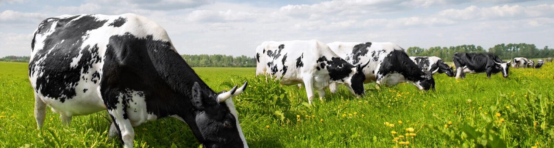 ridgeway science cows