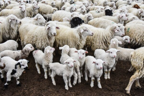 Some flocks experienced lamb loss of up to 60% in the first Schmallenberg outbreak.