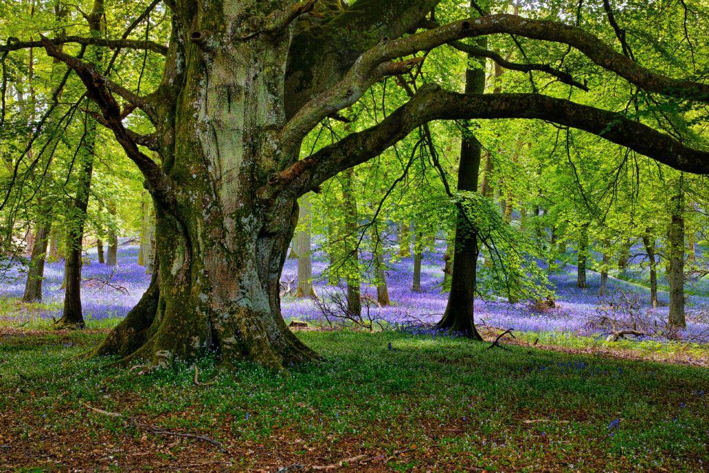 The Forest of Dean is one of the UK's surviving ancient woodlands.