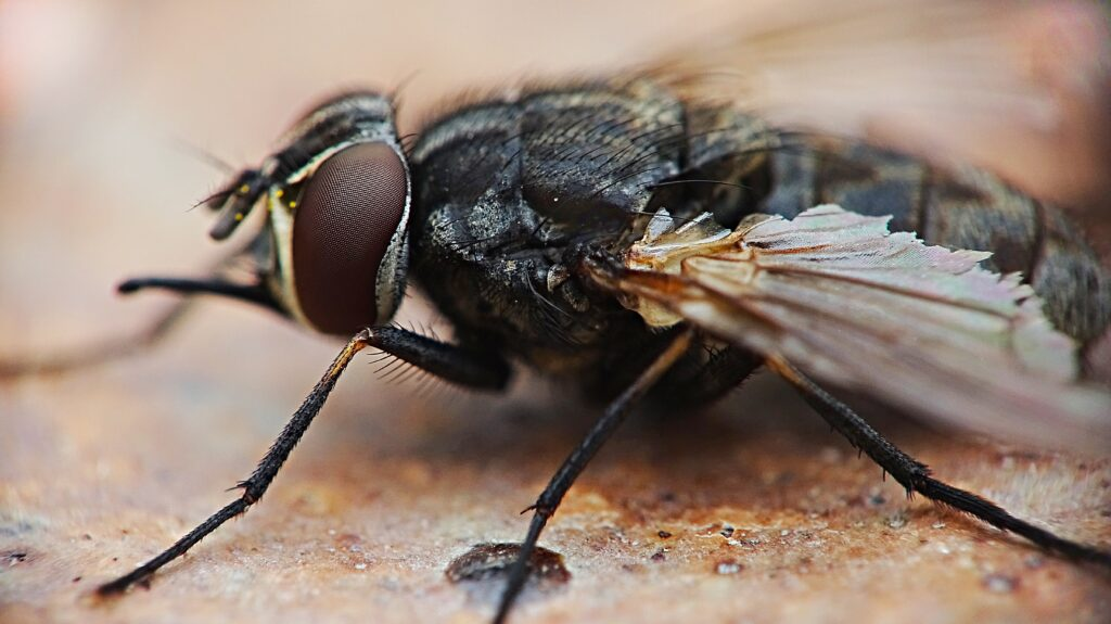 Parasitoid wasps prey on fly larvae, preventing them from reaching maturity.