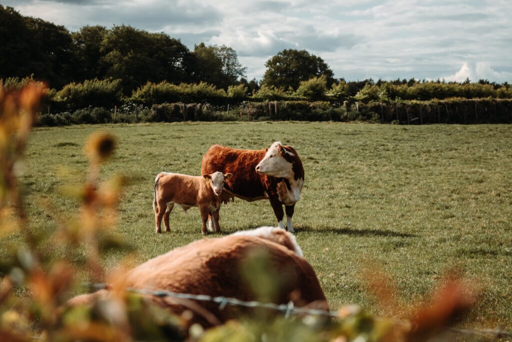 Beef cattle are a valuable part of the British economy, culture, and food industry.