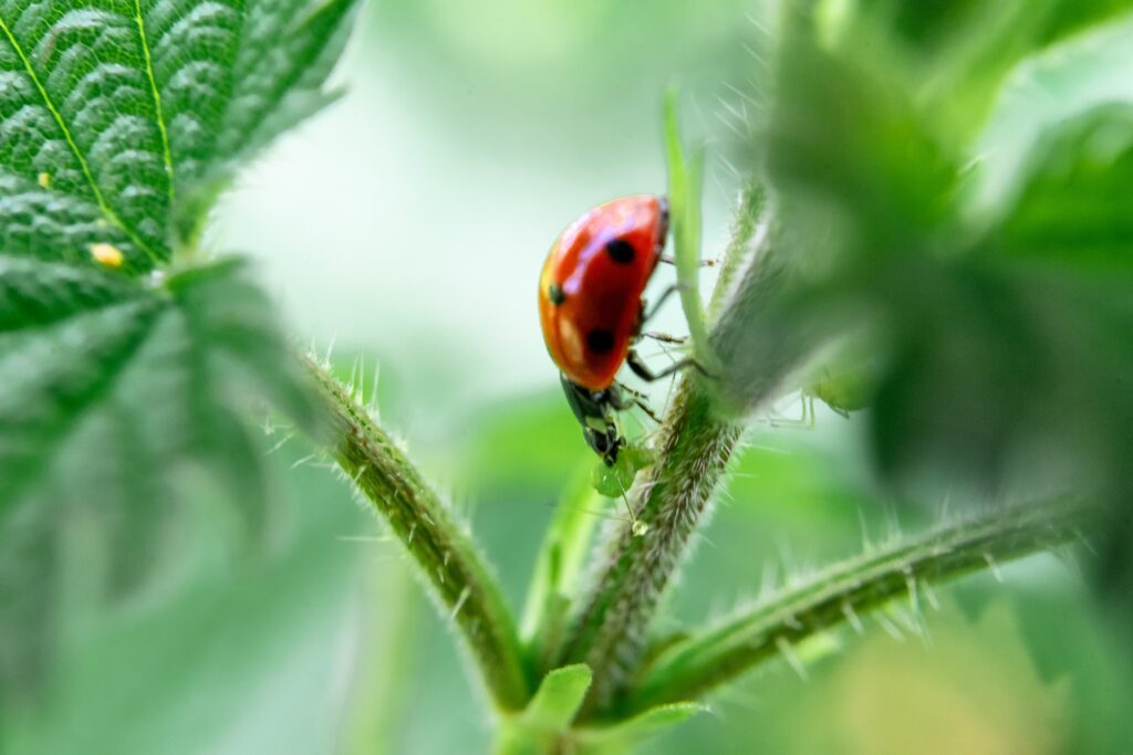 Ladybirds and aphids are a classic example of biological control.