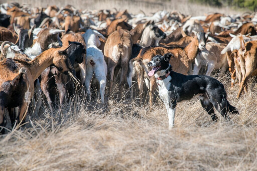 Herding dogs help to manage large groups of animals.