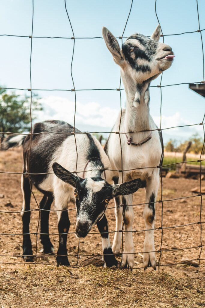 Make sure fences are well maintained to prevent animals interacting with other groups.