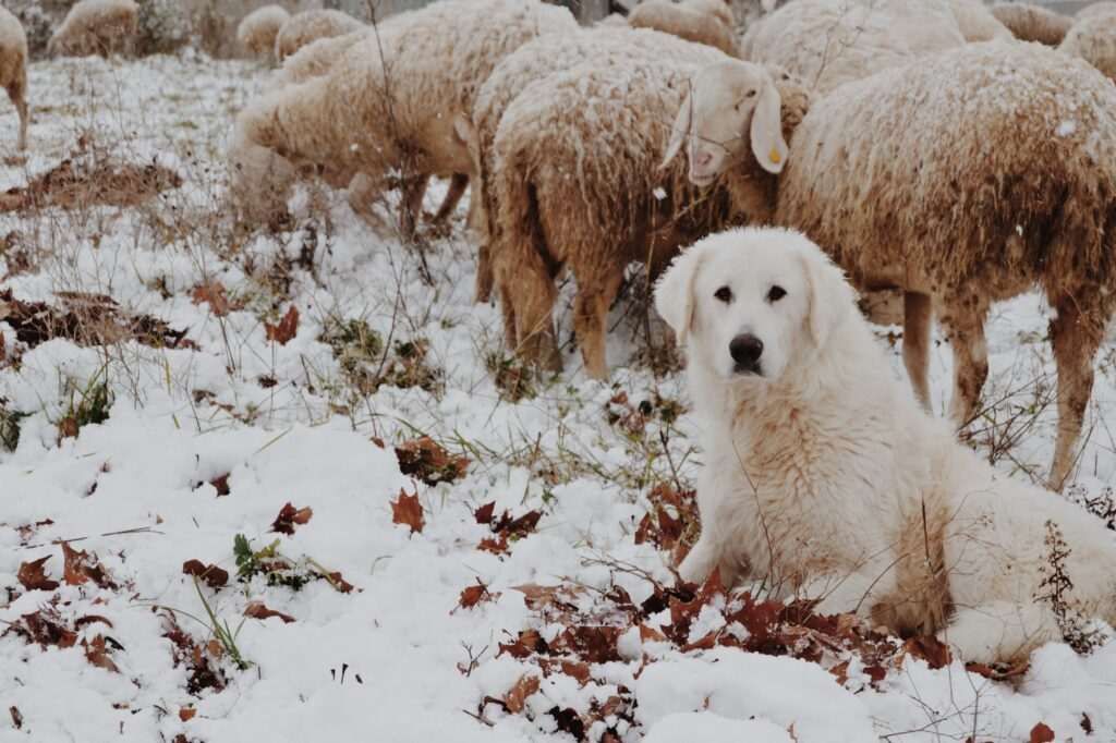The role of guardian dogs is to protect livestock from predators such as wolves.
