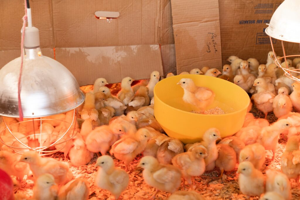 Most commercially produced chickens receive vaccinations before adulthood.
