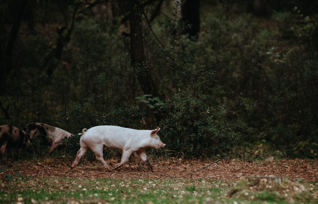 Free range pigs are more at risk from diseases carried by wild pigs.