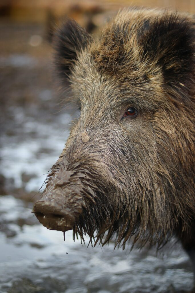 Wild boar can transmit African Swine Fever across large distances.