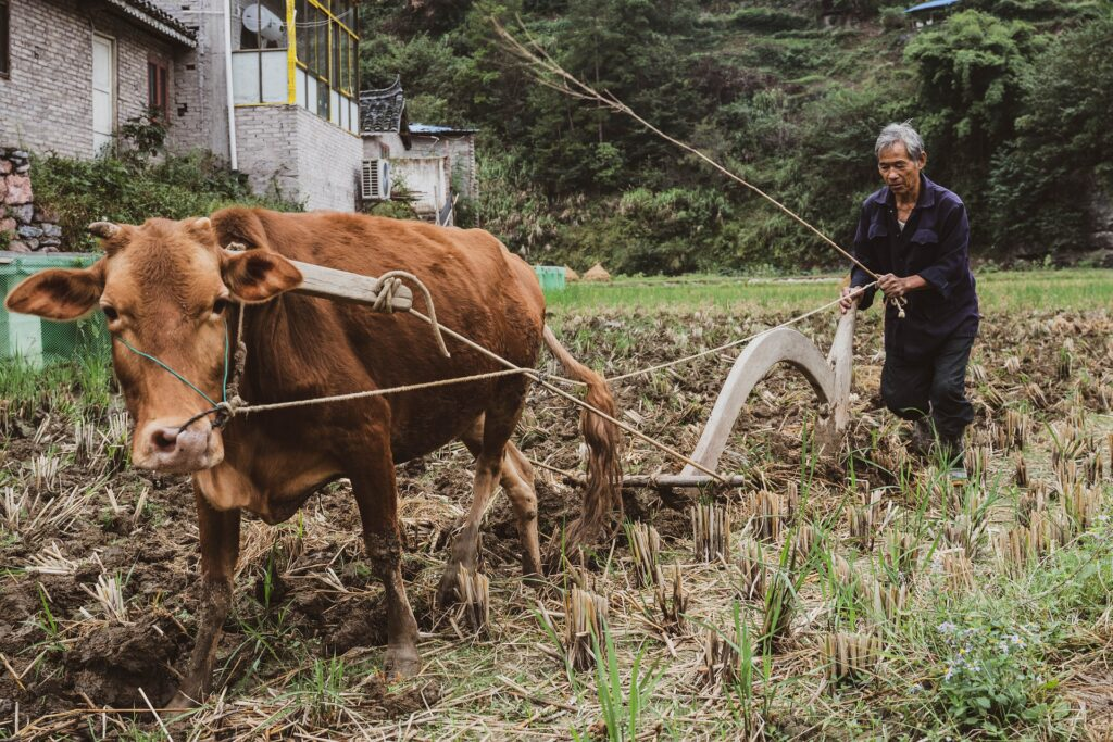 Cattle plough are still a common sight in many parts of the world.