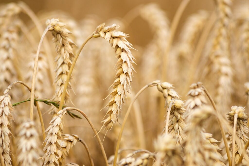 Domestication of many crops occurred in the Fertile Crescent.
